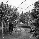 Make Your Marijuana Plants Yield Biggger With Trellis Netting Extra Support