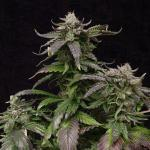 Yield Boosting Basics For Indoor Marijuana Growers